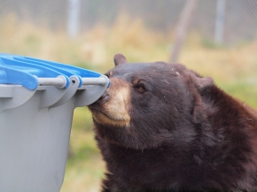 bear-sniffing-garbage-can